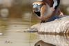 Grosbec casse-noyaux (sfrancois73) Tags: oiseau jardin grosbeccassenoyaux drinkstation faune