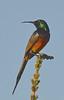Orange Breasted Sunbird Gondwana 22 April 2011 DSC_0629 (peterleanranger) Tags: bird sunbird gondwana gondwanagamereserve mosselbaai mosselbay africa southafrica anthobaphes violacea anthobaphesviolacea nectariniidae passeriformes aves orangebreastedsunbird