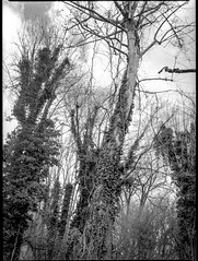 ivy-covered tree trunks, forest, North Asheville, NC, Mamiya 645 Pro, mamiya sekor 80mm F-2.8, 3.20.18 (steve aimone) Tags: trees treetrunks ivy ivycovered forest lookingup northasheville asheville northcarolina mamiya645pro mamiyasekor80mmf28 mamiyaprime primelens mediumformat monochrome monochromatic ilfordfp4 ilfordilfosol3developer blackandwhite 120 film 120film