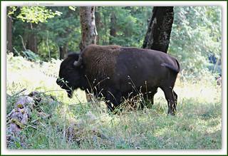 American Bison [Explore]