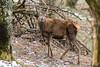 Daguet - Ariège - 2018-03-18 (marczoccarato) Tags: daguet reddeer biche ariege nature nikond850 nikkor500f4e wildlife france cerf cerfelaphe cervuselaphuslinnaeus