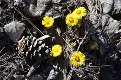 La promesse du tussilage (RarOiseau) Tags: fleur jaune printemps tussilage lamotteducaire alpesdehauteprovence saariysqualitypictures v1500