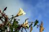 Climbing to the sky (TJ Gehling) Tags: plant flower solanales convolvulaceae morningglory calystegia poisonoak hillsidenaturalarea elcerrito