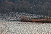 Snow geese at Middle Creek Wildlife Management Area (stackhse_67) Tags: snowgeese waterfowl miiddlecreek