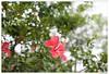 20180304-001 (Aaron Cat) Tags: 50mm zeiss aaronhsu canon eos 5d markiii canoneos5dmarkiii carlzeissplanart1450 flower taiwan 朱槿花 台灣 tree