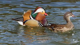 Family portrait (1/2) : Madarin ducks