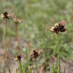 Mertens rush, Juncus mertensianus thumbnail