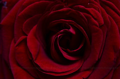 Simply Red (encantadissima) Tags: simplyred rosa macro rosso