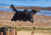 Flying spaniel (Steve Farrow Photography) Tags: dogs animals pets fun beach exercise sand shells jumping action seaside speed