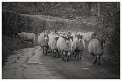 Out for a stroll... (zapperthesnapper) Tags: sheep britishcountryside rural far blackandwhite monochrome mono monochromatic sonyrx10 sonyimages sonycybershot sony
