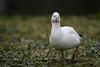 Little one (PChamaeleoMH) Tags: anatidae birds centrallondon geese london rosssgeese stjamesspark
