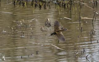 Water rail in flight
