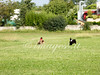 CoursingVillaverla2016w-064 (Jessica Sola - Overlook) Tags: dogs sighthounds afghanhounds greyhounds saluki barzoi italiangreyhounds irishwolfhounds lurecoursing lure race run dograces field greengrass