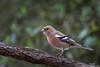 Pinson des arbres (gilbert.calatayud) Tags: commonchaffinch fringillacoelebs fringillidés passériformes pinsondesarbres bird oiseau graulhet tarn occitanie