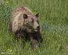 Young Grizzly_T3W0339 (Alfred J. Lockwood Photography) Tags: alfredjlockwood nature wildlife adolescent grizzlybear brownbear afternoon summer togwoteepass wyoming grasses