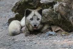 Renard polaire (Passion Animaux & Photos) Tags: renard polaire arctic fox vulpes lagopus parc animalier saintecroix france