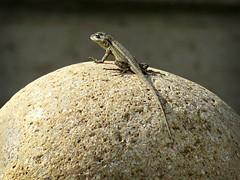 Baby Lizard sunning himself on ____? (Bennilover) Tags: lizards baby babies sunning julian owl stone eyes heavy tiny