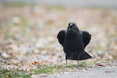 American Crow, Paynetown SRA, Monroe County, IN. 3-12-18 (Ryan J Sanderson) Tags: ryan sanderson canon 5dsr 1dx2 1dx mark ii 2 1dxii monroe county indiana march 12 2018 bloomington unitedstates us americancrow paynetownsra monroecounty in31218