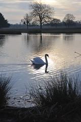 _DSC8070 (The Unofficial Photographer (CFB)) Tags: bushyparkroyalparks londonlife feathredfriends sunrise deardiarymar2018 swan swans featheredfriends