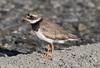 Common Ringed Plover (Charadrius hiaticula) 28.5.2013 (2) (wildlifelover69) Tags: commonringedplover charadriushiaticula outerhebrides scotland 2852013 birdswater