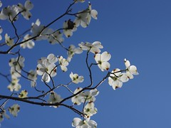Dogwood (bamboosage) Tags: meyer optik gorlitz oreston 1850 m42