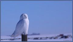 SnowyOwl_6D_3546 (CrzyCnuk) Tags: snowyowl alberta canon canon6d wildlife owl birdsofprey
