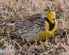 Angry Bird... (ragtops2000) Tags: wildlife meadowlark western group pod foraging probing colorful angry personality eyebrows markings detail close portrait pose beautiful ground eyes penetrating