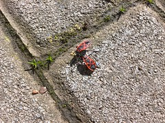 WP_20180309_13_07_06_Raw (vale 83) Tags: firebugs pyrrhocoris apterus microsoft lumia 550 friends coloursplosion colourartaward