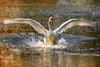 Crash Landing (MrBlueSky*) Tags: swan bird animal water colour nature outdoor wildlife kewgardens royalbotanicgardens london aficionados pentax pentaxart pentaxlife pentaxawards pentaxflickraward pentaxk10d