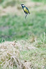 who needs wings when you have a pogo stick (Paul Wrights Reserved) Tags: birding bird birds birdinflight birdphotography greattit jump jumping pogo