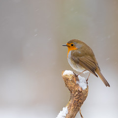 Roodborst (Luciën Reyns) Tags: boshutclinge sneeuw snow clinge pentaxk1 pentaxhddfa150450mm netherlands nederland gemeentehulst