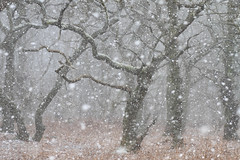 Snow showers, Krkby Moor (neil smith2010) Tags: snow showers blizzaed flurry woodland lincolnshire white cold landscape