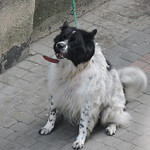 Border Collie in the city // Border Collie w mieście thumbnail