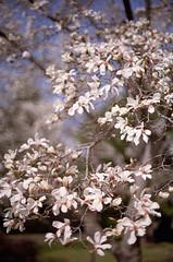 辛夷 (t_mimizuk) Tags: film nikon flower magnolia kobushi white spring park tokyo japan