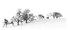 Graphic Trees II (Geoff Kell (Old Forest Man)) Tags: winter snow trees minimalism graphic bw northumberland panorama stitch