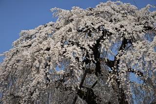 ✪今年も円明寺さんの枝垂れ桜… -愛知県犬山市-