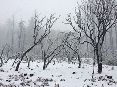 Gifford Springs (cyprest) Tags: manzanita winter snow deadtrees