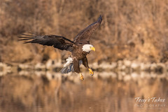 Bald Eagle makes the catch - 14 of 33