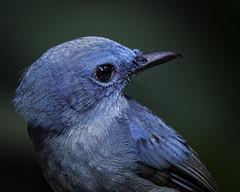 Pale Blue Flycatcher (Tokki,an idiot w/cameras & birds. 3,510,700 views) Tags: 1001nights bird birds pale blue flycatcher wild wildlife