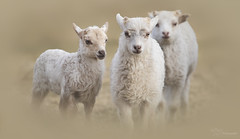 Little Lambs (Paula Darwinkel) Tags: lambs lamb sheep livestock farm cattle cute spring animals wildlife nature young baby