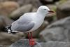 Silver Gull (David Levasheff) Tags: 2018tasmaniamelbourne eaglehawknect tasmania australia silvergull gullsternsskimmers