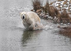 Nobby's  Water Dash (Kerry711) Tags: 75300mm a77 alpha animal arcticcircle bear doncaster england lens minolta park polar sony southyorkshire wildlife yorkshire wild