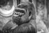 Silverback Gorilla (sniggie) Tags: africawildlife jelani kentucky louisvillezoo captivity gorilla zoo zoologicalgarden louisville unitedstates us