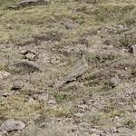 Perdicita cordillerana (Attagis gayi gayi) Rufous-bellied seedsnipe thumbnail