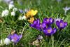 Frühling (ingrid eulenfan) Tags: frühling frühlingsblumen spring krokus märzenbecher 7dwf blumen gras wiese blume makro garten