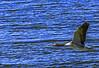 PATO (HerrGony) Tags: pato patos duck vida salvaje naturaleza delta vuelo sol nature llobregat 7d2 canon sigma