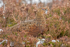 DSC2674  Red Grouse.. (jefflack Wildlife&Nature) Tags: redgrouse grouse birds avian animal animals wildlife wildbirds gamebirds heathland heaths heather heath moorland moors countryside cairngorms scotland