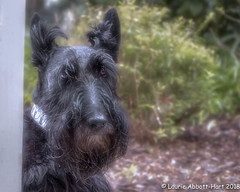 """20180313  My What Big Ears You have  9757-Edit (Laurie2123) Tags: ddc ddc2018 dailydogchallenge fujixt2 laurieturnerphotography laurietakespics laurie2123 maggie missmaggie scottie scottishterrier blackscottishterrier blackdog """"fujinon 1855 f28"""