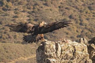 Golden Eagle - Sierra de Andujar - Spain