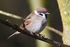 Tree Sparrow. (stonefaction) Tags: birds nature wildlife scotland loch kinnordy kirriemuir angus tree sparrow